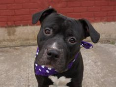 TO BE DESTROYED - 04/04/14 Brooklyn Center-P  My name is SHADOW. My Animal ID # is A0994708. I am a male black and white am pit bull ter mix. The shelter thinks I am about 3 YEARS old.  I came in the shelter as a SEIZED on 03/23/2014 from NY 11220, owner surrender reason stated was OWN ARREST. I came in with Group/Litter #K14-171615. https://www.facebook.com/photo.php?fbid=777820915564123&set=a.611290788883804.1073741851.152876678058553&type=3&theater