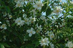 Philadelphus virginal - Boerenjasmijn    De Philadelphus virginal (Nederlandse naam: Boerenjasmijn) is een Philadelphus hybride (kruising van verschillende soorten) die in mei en juni bloeit met sterk geurende, roomwitte bloemen. De Boerenjasmijn is een snelle groeier die ieder jaar flink teruggesnoeid moet worden.