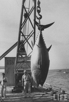 big a$$ fish!
