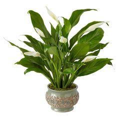 Serene Peace Plant, Plant