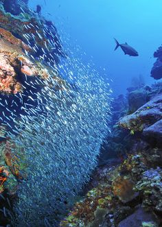 One of my favorite sights to see! Silversides swarming