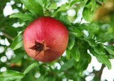 Granatäpfel anbauen – So wird's gemacht