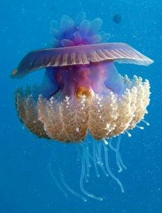 Cauliflower Jellyfish