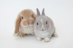 Two Rabbits.netherland Dwarf And Holland Lop. Fine Art Print