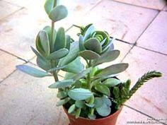 kalanchoê rotundifolia - Pesquisa Google