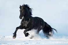 black horse running in snow 1 Most Beautiful Horses, Pretty Horses, Horse Love, Animals Beautiful, Horses And Dogs, Wild Horses, Animals And Pets, Cute Animals, Horse Photos