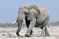 Elephant in Etosha National Park - Namibia.