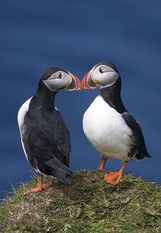 kissing puffins, Iceland