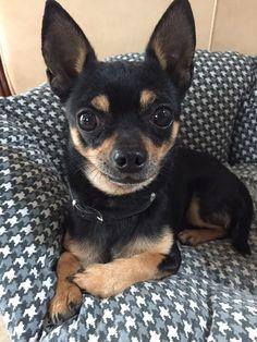 Calli Chihuahua   Pawshake