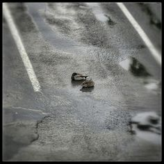 Ducks chilling in the parking lot.