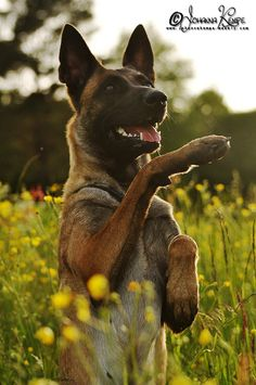 Belgian Malinois perfect color Animals I want