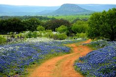 Willow City Loop Bluebonnets Texas Hill Country