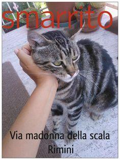 da Luca Guaitoli:  Abbiamo smarrito il nostro gatto, in Via Madonna della scala a RIMINI. E' un maschio castrato di 7 anni. Se qualcuno l'avesse trovato preghiamo di contattare il numero: 340/2281201 Grazie