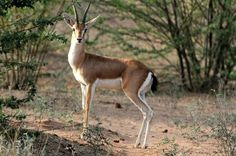 This article talks about an animal known as the Indian Gazelles, the Chinkara. The Chinkara tend to live in aird plains, hills, deserts, and light forests. These gentle creatures are shy and avoid humans whenever possible, but if you do happen to catch sight of one youll notice that it has a reddish brown coat and white fur on its belly. The Chinkara is know for its jumping abilities as well.