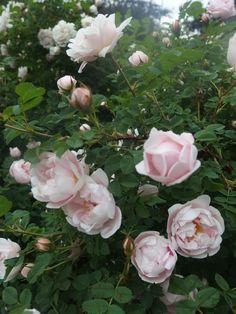 Juhannusmorsian ruusu t, morsionruusu