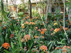 Clivia miniata (Boslelie) | Florcom Gardens
