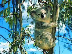 koala #australia #travel #animals