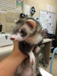 It's Ferret Friday!  Say hi to baby Book!