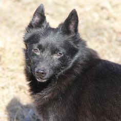 Meet Jangle, a Petfinder adoptable Schipperke Dog | Auburn, NE | Jangle was rescued from a Kansas puppy mill that is notoriously bad. She is active and alert,...