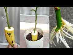 Growing Fruit Trees, Growing Orchids, Growing Plants, Rose Cuttings, Plant Cuttings, Propagation, Comment Planter Des Roses, Orchid Plant Care, How To Grow Bananas