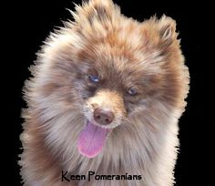 This is a Chocolate Merle Pomeranian. He is very close to double blue eyed!  www.keenpomeranians.com