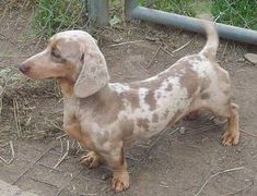 A brown and tan spotted Dachshund is standing in dirt around a chain link fence