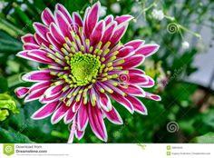 Aster-september flower