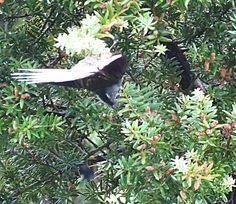Bird Photos, Birding Sites, Bird Information: NEW ZEALAND GREY FANTAIL, WAITAKERE RANGES REGIONA...
