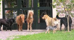 La extraña raza del caballo que se parece a un perro.  https://www.facebook.com/forohorses
