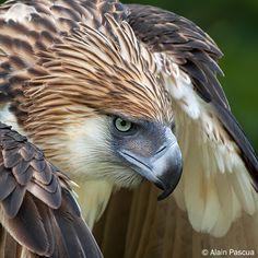 Philippine eagle - Szukaj w Google
