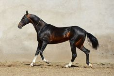 An Absolute Gorgeous Liver Chestnut Akhal Teke.
