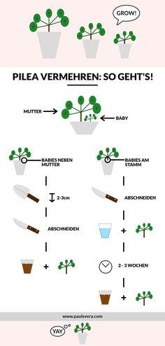 Pilea vermehren? Meine Infografik zu der Vermehrung von Pileas zeigt dir fast schon alles was du wissen musst - noch mehr Informationen gibt es auf meinem Blog. Pilea | Pflanzen | vermehren | Pflanzen Vermehrung | Urban Jungle | Infographic | paulsvera