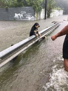 10+ Powerful Photos From Hurricane Harvey That Show The Devastating Power Of Nature     Dog Hanging On During Houston Flooding. She Was Rescued!