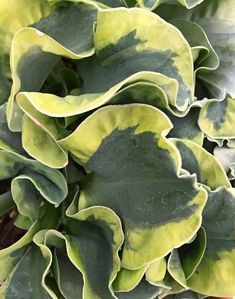 "* Hosta 'Church Mouse' - In addition to the mixed ploidy-induced seer-suckered leaf edge of its parent, Hosta 'Church Mouse', the edge of Hosta 'School Mouse' has been transformed to bright yellow while retaining the amazing edge ruffling. 8"" tall x 14"" wide, dwarf, thick-leafed Hosta 'School Mouse' is smaller than Hosta 'Mini Skirt', and the edge remains yellow instead of aging to creamy white. Planter under Hally Jolivette 15 Apr '17"