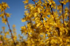 Plant of the week 12 - Forsythia - named after Scottish arboriculturist William Forsyth (1737-1804), who was one of the founder members of The Horticultural Society of London. There are many varieties of Forsythia, including some very superior French forms, but sadly it is unusual to see more than a small handfull offered by retailers. Lynwood is the most well known: a strong and floriferous shrub that is easy to grow in a border or as a hedge.