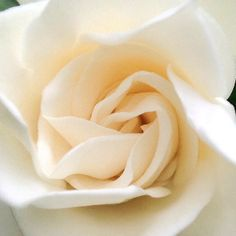 White rose. Simple. Beautiful. Natural art. Nirvanic.