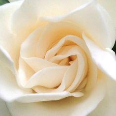 White rose. Simple. Beautiful. Natural art. Nirvanic.