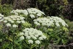 Cow Parsnip, local native, dies to ground, comes back in spring. Large, beneficial insects love.