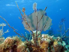 Sea Fan--diving at Stella Maris. Miss this place!