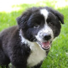 Meet Paisley, an adoptable Australian Shepherd looking for a forever home. If you're looking for a new pet to adopt or want information on how to get involved with adoptable pets, Petfinder.com is a great resource.