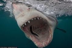 Terrifying Pictures of Merciless White Sharks Caught On Camera #shark #whiteshark #wildlifephotography #travel #nature