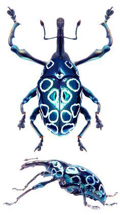 Alcicodea sp.                                                                                                                                                                                 Más