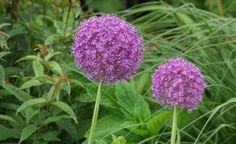 Die Zwiebeln der verschiedenen Zierlauch-Arten und deren Sorten sollten Sie spätestens Ende August ins Beet pflanzen. Besonders schön sind Kombinationen mit Stauden, die ebenfalls von Mai bis Anfang Juni blühen.