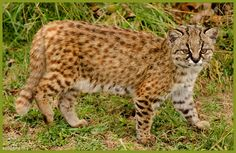 The secretive Guigna or Kodkod (Leopardus guigna) is the size of a tiny house cat, earning itself the distinction of being one of the smallest cats in the southern hemisphere, joined only by the oncilla (Leopardus tigrinus). Its diminutive body is covered with buff to greyish-brown fur, heavily patterned with small black spots that sometimes form broken streaks on the head and neck. Its small head bears low-set ears, the backs of which are black with a white spot in the centre.