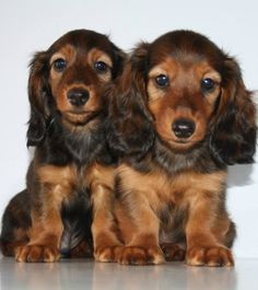 ❤ Gorgeous Longhaired Dachshund Puppies                                                                                                                                                     More