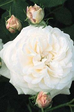 'Boule de Neige', arbuste remontant, à port dressé compact, florifère. Ses fleurs très doubles, globuleuses, soyeuses, d'un blanc crème délicatement ourlé de carmin sont groupées en bouquets, sur un feuillage vert foncé assez résistant aux maladies. Bourbon. Lacharme, 1867.