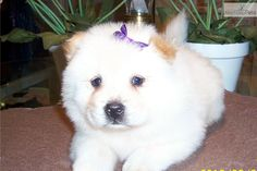 Meet TEX AKC #87 a cute Chow Chow puppy for sale for $700. TEX AKC #87 (licensed by the state of Texas)