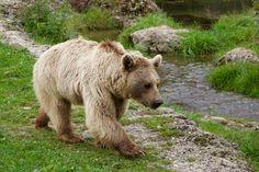 Přírody, Zvířata, Medvěd Hnědý, Sibiřský Medvěd, Medvěd