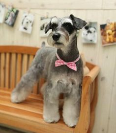 Asian Fusion Schnauzer - cute, though I'd like to try blending the legs and skirt closer to the traditional pattern lines.
