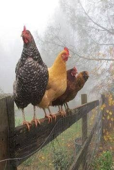 ..chickens on fence